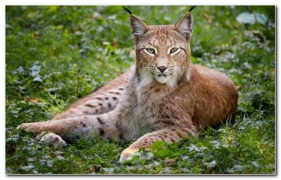 Image Bobcat Animal Wilderness Wildlife Mammal