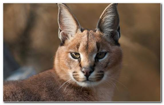 Image Bobcat Terrestrial Animal Wildlife Caracal Kitten