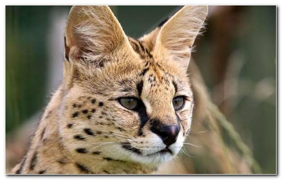 Image Bobcat Whiskers Savannah Cat Serval Small To Medium Sized Cats
