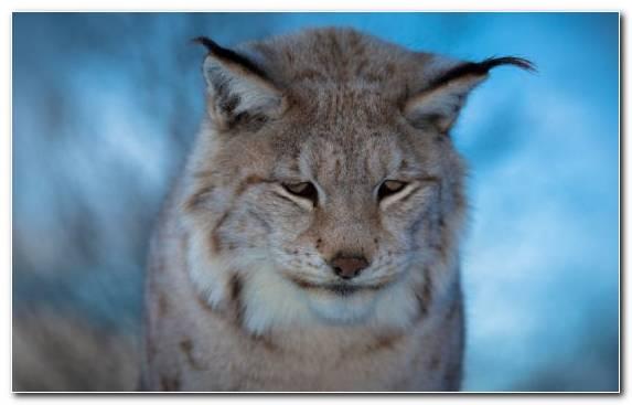 Image Bobcat Wildlife Wildcat Mammal Terrestrial Animal