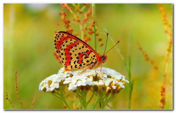 Image Bokeh Invertebrate Moths And Butterflies Insect Pieridae