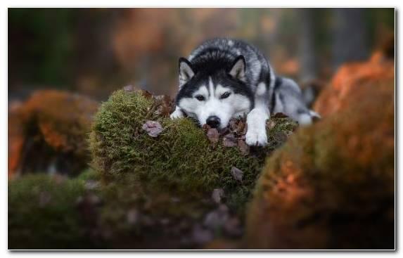 Image Bokeh Snout Dog Siberian Husky The Siberian Husky