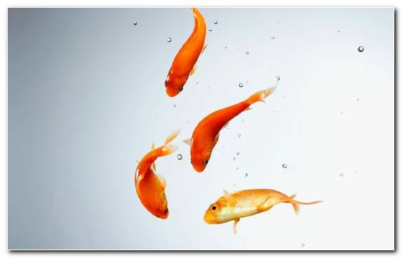 Image Bony Fish Goldfish Aquarium Koi Fantail