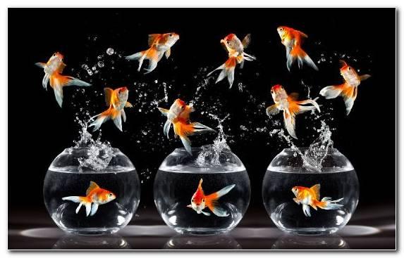 Image Bony Fish Vertebrate Goldfish Koi