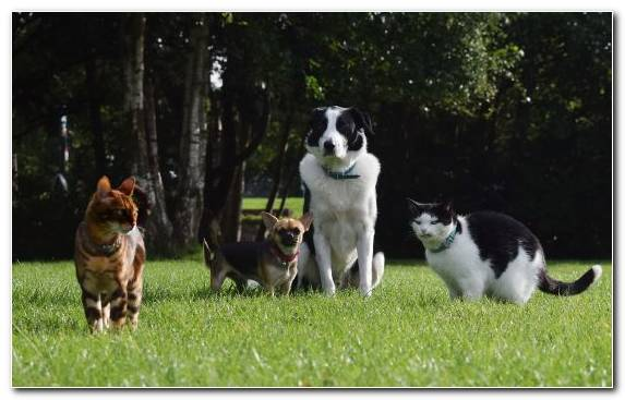 Image Border Collie Dog Collie Cat Pet