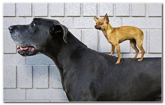 Image Boston Terrier Great Dane Yorkshire Terrier Pinscher Boxer