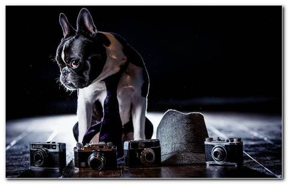 Image Boston Terrier Puppy Pug Dog Breed Boxer