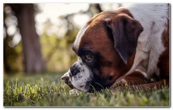 Image Boxer Olde English Bulldogge Dog Dog Breed Puppy