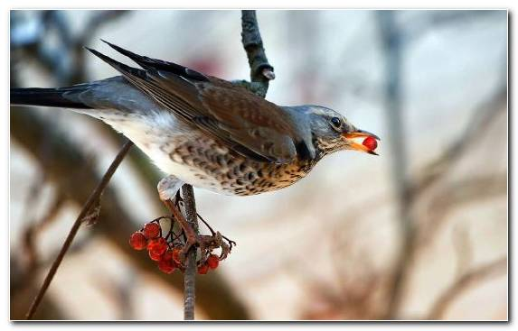 Image Brambling Fauna Bird Wing Wildlife