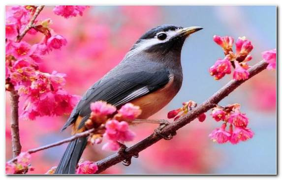 Image Branch Cherry Blossom Old World Flycatcher Bird Twig