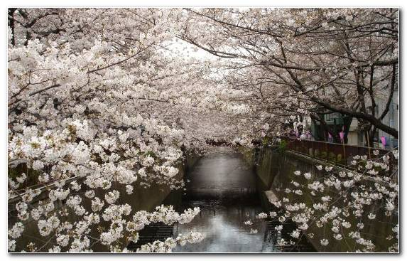 Image Branch Japan Cherry Blossom Water Tree