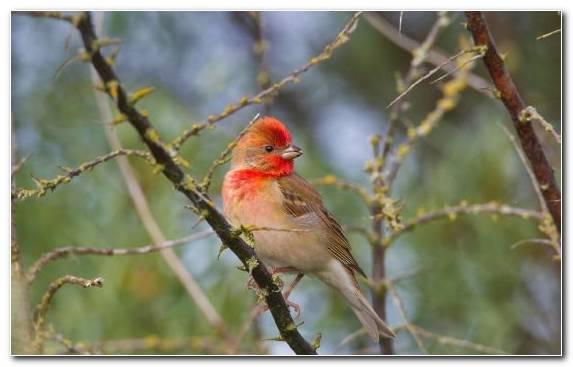 Image Branch Tree Perching Bird Beak Common Chaffinch