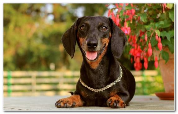 Image Breed Austrian Black And Tan Hound Polish Hunting Dog Dog Breed Snout
