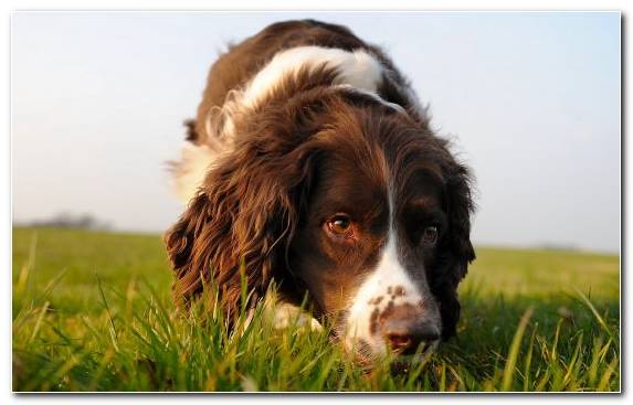 Image Breed Drentse Patrijshond English Cocker Spaniel Dog Breed Welsh Springer Spaniel