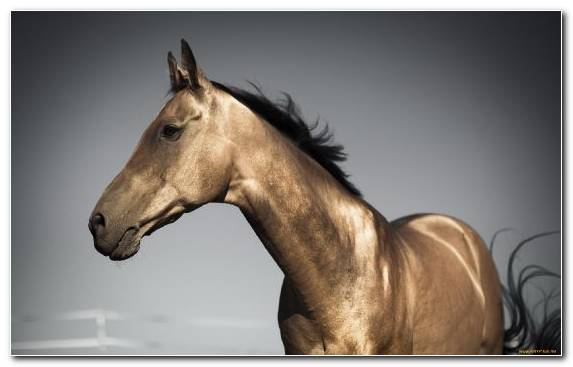 Image Bridle Horse Palomino American Quarter Horse Breed
