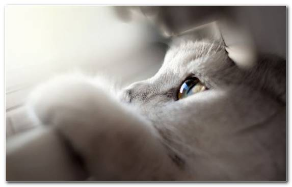 Image British Shorthair Cuteness White Nose Animal