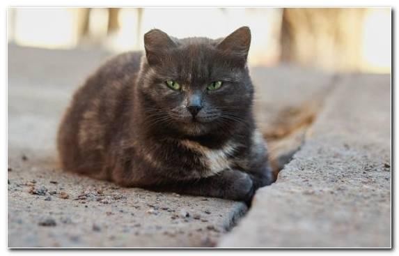 Image british shorthair fauna black cat british semi longhair european shorthair