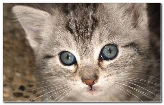Image British Shorthair Small To Medium Sized Cats Whiskers Tabby Cat Moustache