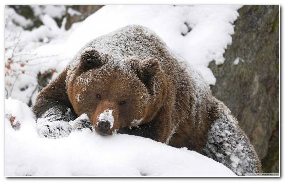 Image Brown Bear Freezing Polar Bear Grizzly Bear American Black Bear