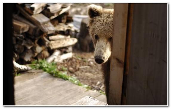 Image Brown Bear Polar Bear Zoo Grizzly Bear The Mighty Bears