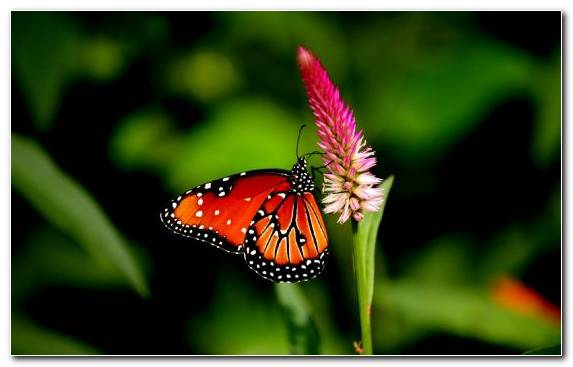 Image Brush Footed Butterfly Butterfly Flower Insect Pollinator