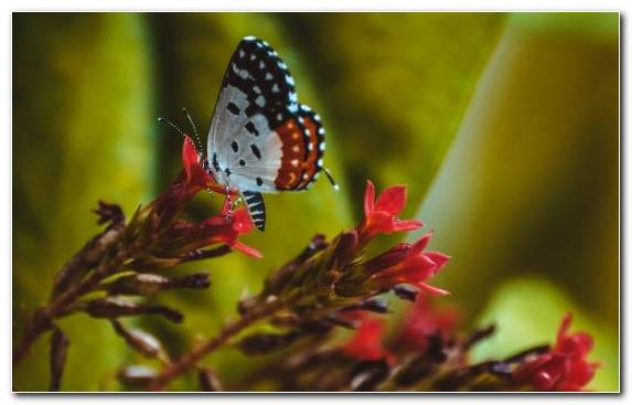 Image Brush Footed Butterfly Butterfly Lycaenid Nectar Invertebrate