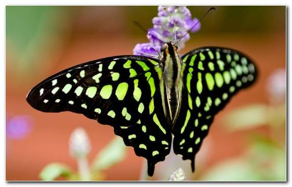 Image Brush Footed Butterfly Close Up Invertebrate Pollinator Moths And Butterflies