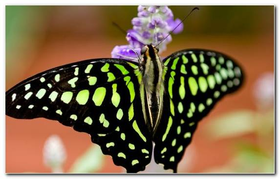 Image Brush Footed Butterfly Insect Monarch Butterfly Nectar Swallowtail Butterfly