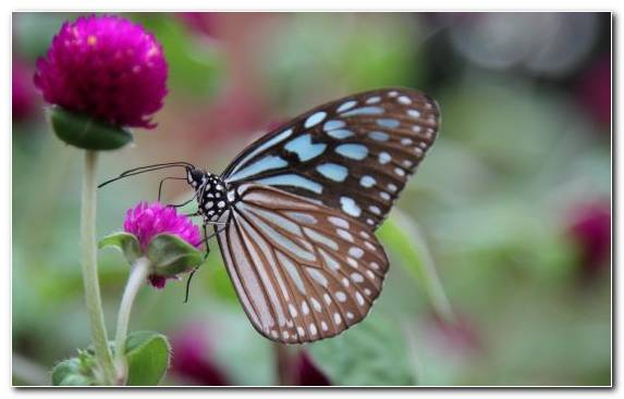 Image Brush Footed Butterfly Invertebrate Lycaenid Flower Nectar
