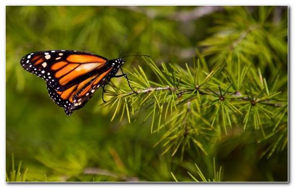 Image brush footed butterfly invertebrate moths and butterflies pollinator monarch butterfly