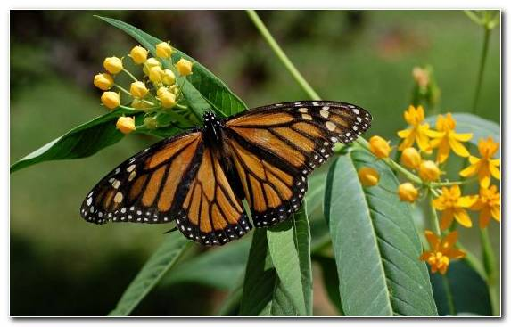 Image Brush Footed Butterfly Invertebrate Pollinator Monarch Butterfly United States Of America