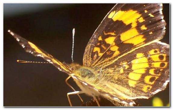 Image Brush Footed Butterfly Lycaenid Insect Pieridae Butterfly