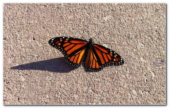 Image Brush Footed Butterfly Monarch Butterfly Butterfly Pollinator Invertebrate