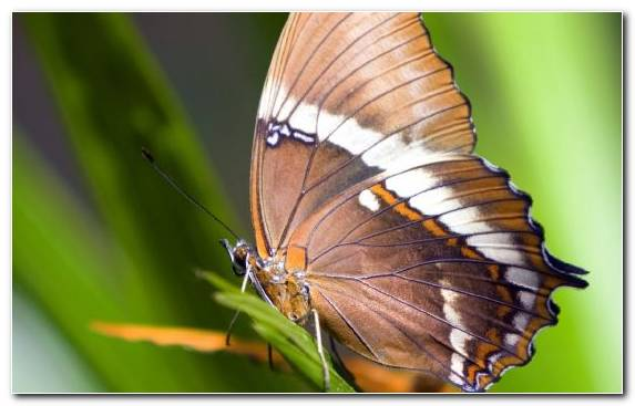 Image Brush Footed Butterfly Moths And Butterflies Arthropod Lycaenid Butterfly