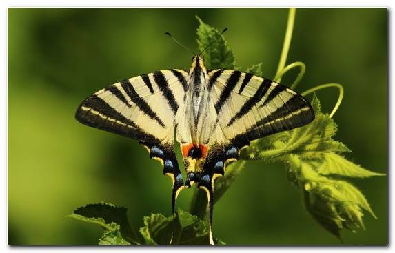 Image Brush Footed Butterfly Moths And Butterflies Invertebrate Butterfly Swallowtail Butterfly