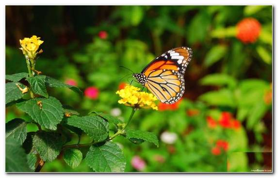 Image Brush Footed Butterfly Pieridae Butterfly Insect Invertebrate