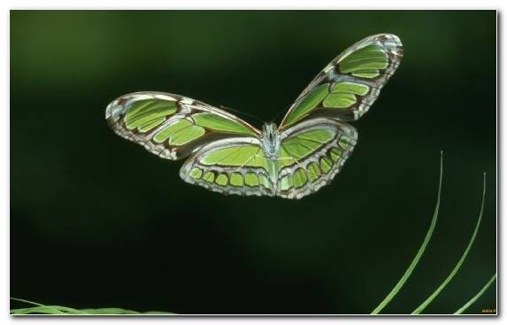 Image Brush Footed Butterfly Pieridae Butterfly Pollinator Invertebrate