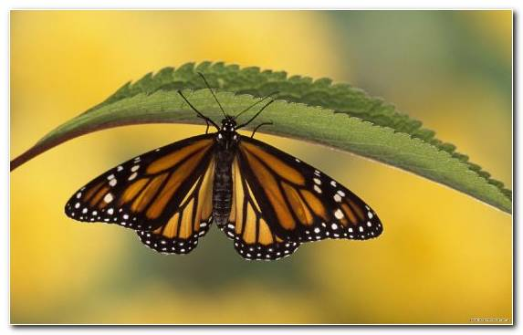 Image Brush Footed Butterfly Pieridae Invertebrate Pollinator Moths And Butterflies