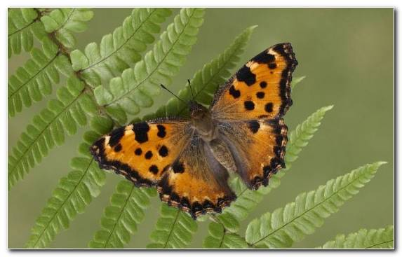Image Brush Footed Butterfly Pollinator Butterfly Germany Wildlife