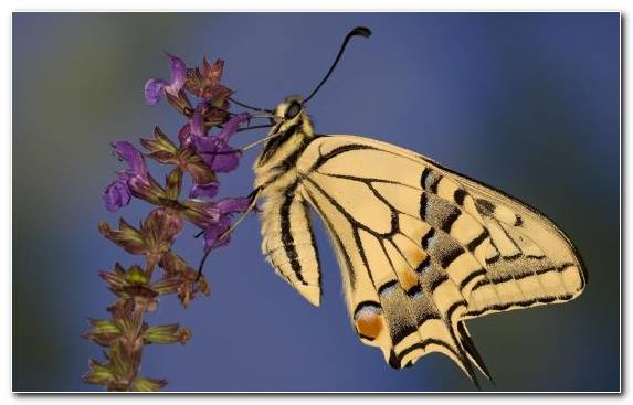 Image Brush Footed Butterfly Pollinator Flora Butterfly Macro Photography