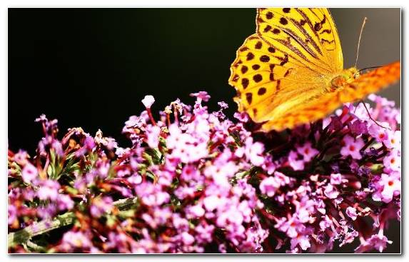 Image Brush Footed Butterfly Pollinator Petal Nectar Invertebrate