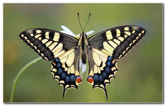 Image Brush Footed Butterfly Swallowtail Butterfly Moth Pollinator Insect