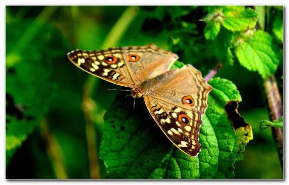 Image Brush Footed Butterfly Wildlife Invertebrate Insect Pollinator