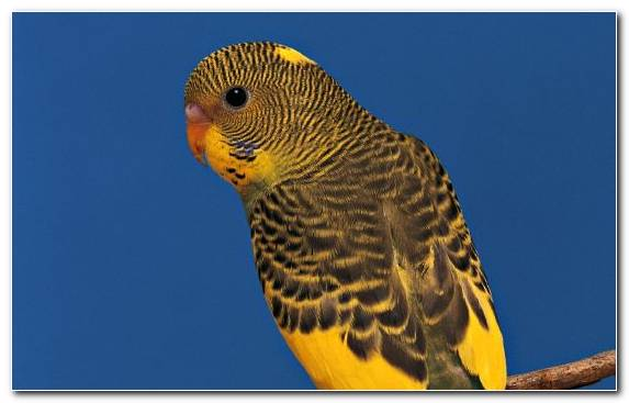 Image Budgerigar Beak Parrot Common Pet Parakeet Rose Ringed Parakeet