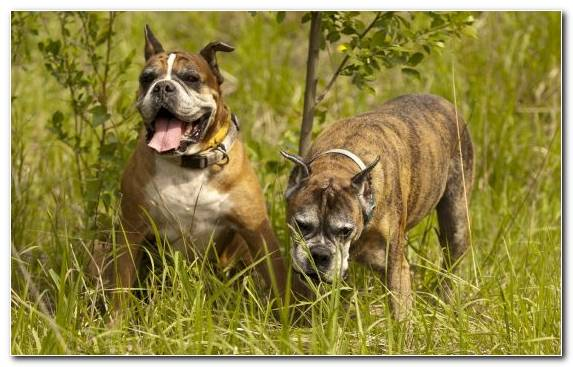 Image Bullmastiff Bulldog Old English Bulldog Australian Bulldog Dog Breed Group