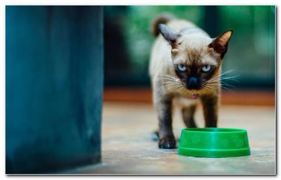 Image burmese cat kitten small to medium sized cats fauna bowl
