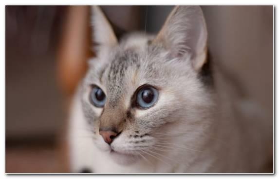 Image Burmilla Nose Kitten Fauna Snout