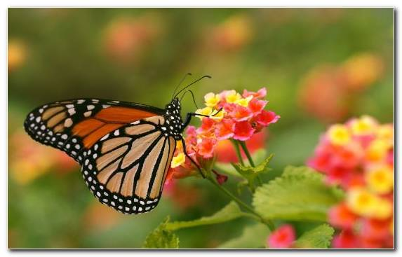 Image Butterfly Borboleta Flower Insect Invertebrate