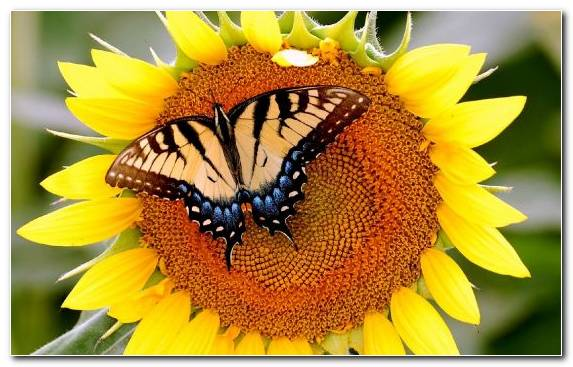 Image Butterfly Brush Footed Butterfly Mother Flower Sunflowers