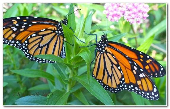 Image Butterfly Brush Footed Butterfly Flower Caterpillar Monarch Butterfly